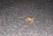 liten-frosk-i-en-farefull-verden-komp_0