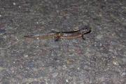liten-salamander-pa-mosaikk-av-asfalt-komp