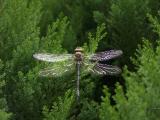 true-dragonfly-odonata